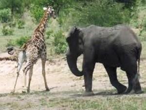 Un éléphant charge une giraffe dans la savane africaine via wikipedia.org cc