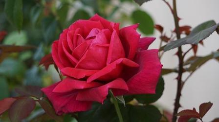Rose de pixabay.com